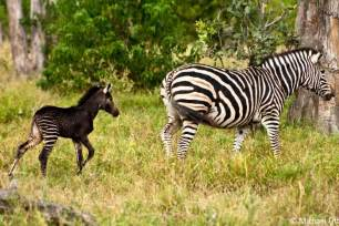 what color are zebras brilliant pictures of zebras to color coloring pages
