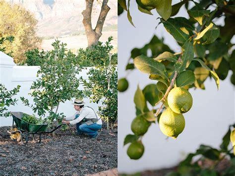 potare limone in vaso quando potare limone frutteto potatura limone