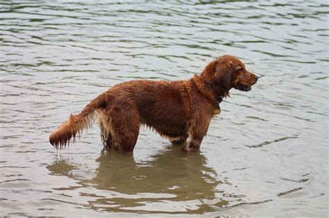 do golden retrievers like water field golden retriever vs show golden retriever lifesgoldenmoments