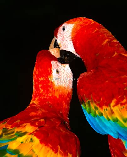 scarlet macaws courtship feeding shot from the file
