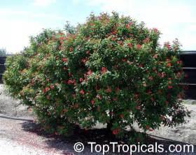 Decorative Tree Branches Jatropha Integerrima Jatropha Pandurata Spicy Jatropha Coral Plant Peregrina Physic Nut
