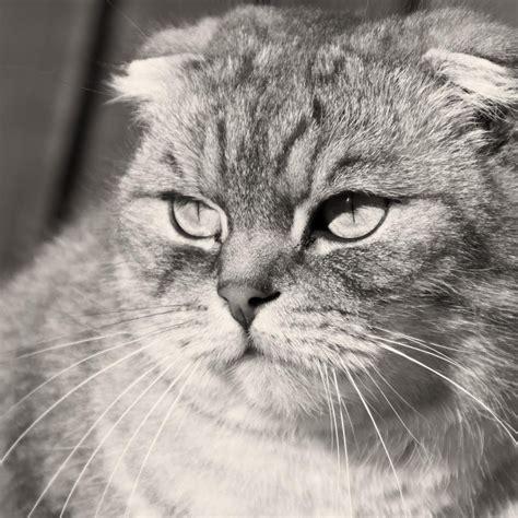 grumpy cat black and white grumpy scottish fold cat black and white photo desktop