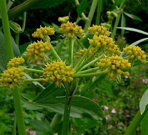 Upholstery Ogden Utah Lovage Levisticum Officinale Seeds From