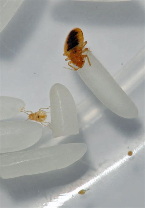 how fast are bed bugs the pest advice how fast do bed bugs breed