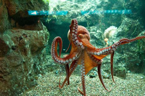 shedd pacific octopus website