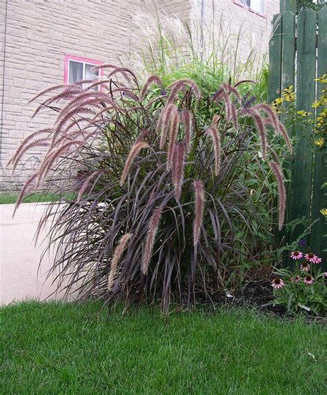 best 25 perennial grasses ideas on pinterest