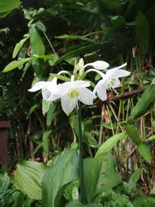 fragrant tropical plants mahachok lovely tropical bulb plants in thailand with