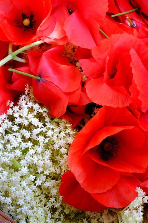 fiori essiccati come seccare i fiori di sambuco essiccare