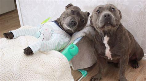 Jual Hewan Peliharaan Yang Sering Dipakaikan Baju gemes banget 2 anjing kembar ini sering tidur bareng