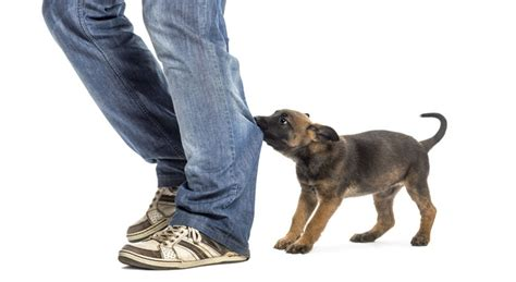 puppy biting how to stop a puppy from biting nation