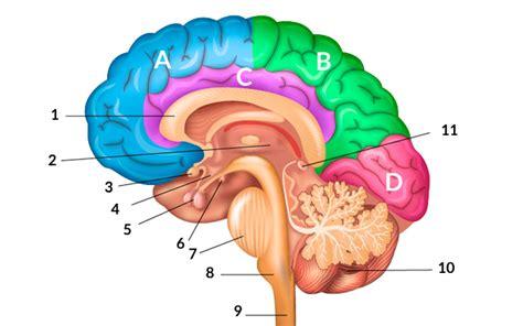 imagenes de el cerebro humano sobre el cerebro humano cognifit