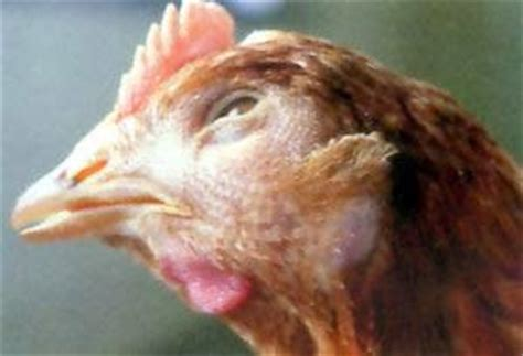 Vitamin Penambah Nafsu Makan Ayam Petelur penyakit pada peternakan ayam petelur dan solusinya 1