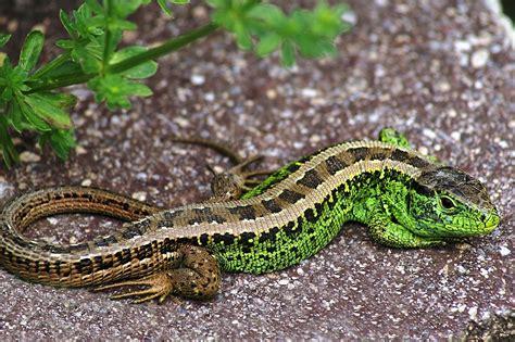 geckos garten heidelberg was reptilien ausmacht biologie artikel 187 serlo org
