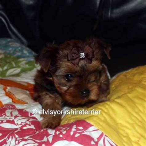 golden yorkie puppies 1000 images about golden yorkies on yorkies yorkie for sale and yorkies