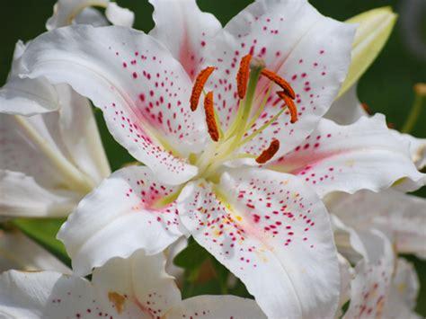 Fleurs De Lys Entretien lys ou lis lilium fleur plantation culture entretien