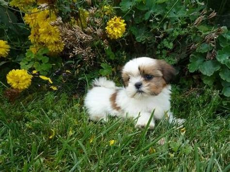 shih tzu breeders in pennsylvania your the o jays and babies on
