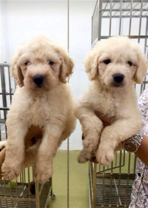 goldendoodle puppies for sale scotland goldendoodle scottish terrier pug poodle