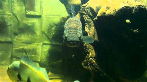tangki kumpulan ikan hias predator air tawar aquarium