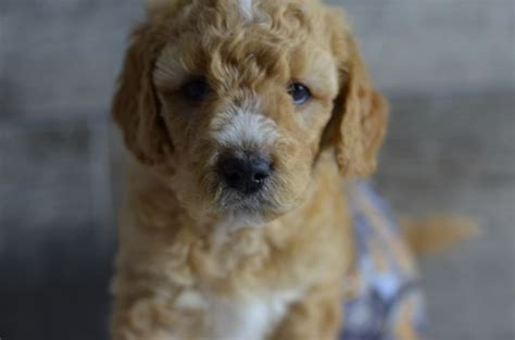goldendoodle puppies for sale in illinois 1000 images about mini goldendoodle puppies for sale on