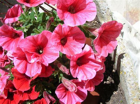 fiori petunie petunie fuxia foto immagini piante fiori e funghi