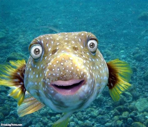 fish pictures mr bean puffer fish pictures