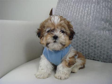 shih tzu separation anxiety best 25 shih tzu puppy ideas on shih tzu shitzu puppies and best puppy names