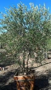 olea europaea majestic beauty fruitless olive tree