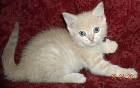 buff colored cat nadya buff tabby adopted cat kitten adoption