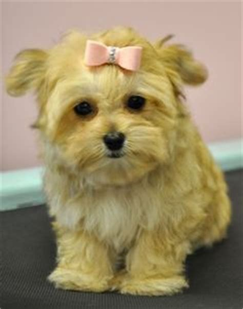 yorkie shu 1000 images about morkie maltese yorkie on morkie puppies yorkie and