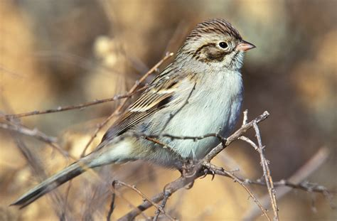 brewer s sparrow audubon field guide