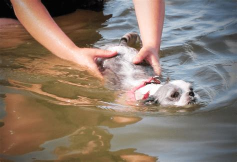 shih tzu swimming holidays shih tzu swimming hi i m shih tzu