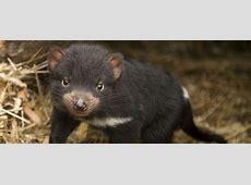 Tasmanian Devil - Conservation Volunteers Australia Habitat Online Shop