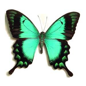 Butterfly Gifts Papilio Lorquinianus Albertisi Butterfly Sea Green Swallowtail Real Butterfly Gifts Real