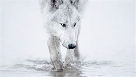 black and white wolf 26 free wallpaper hdblackwallpaper com 水を飲む狼の綺麗な写真壁紙画像