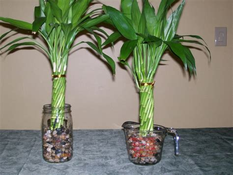 indoor plant dying real benefits from indoor bamboo plant best home decor ideas