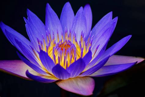 water lily flower with lion 30 beautiful flower images free to water lilies