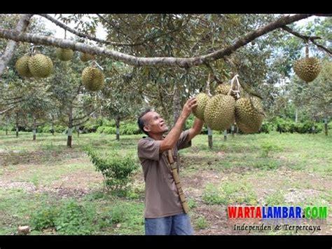 Bibit Durian Bawor Ponorogo terbongkar rahasia besar bibit durian bawor doovi