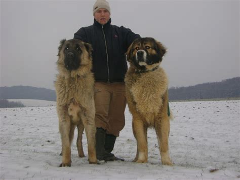 caucasian shepherd puppy caucasian ovcharka info temperament puppies pictures