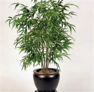 low light indoor tree 17 best images about low light houseplants on pinterest