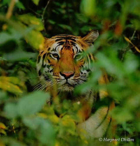 Essay On Tigers In India by Wildlife In Kanha National Park A Photo Essay Breathedreamgo
