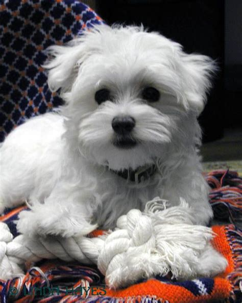 teacup maltese puppies for adoption pin lovely teacup maltese puppies for adoption on