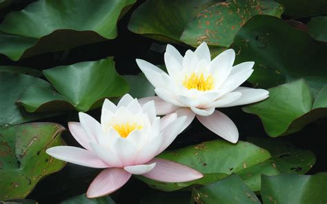 what is white lotus gardens of the world rdg projects