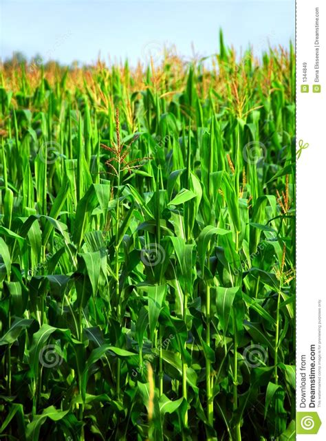 corn field royalty  stock images image