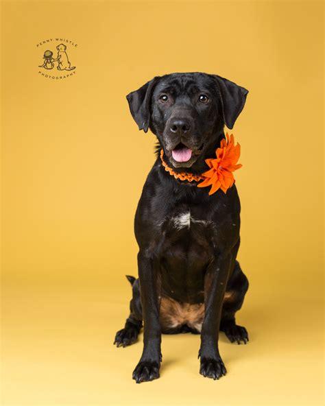 black golden retriever rescue golden labrador retriever rescue ontario dogs our friends photo