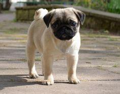 free pug puppies arizona pugs on pug puppies pug puppies and black pug