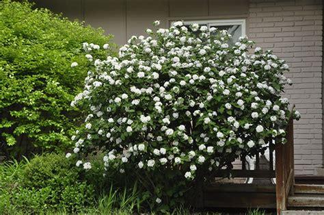 gardenatoz judd viburnum garden