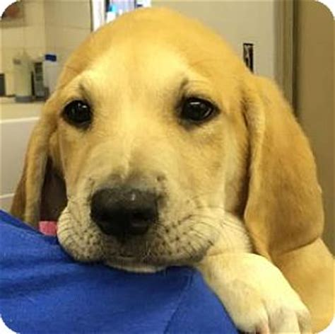 bloodhound golden retriever mix berkeley heights nj golden retriever bloodhound mix meet ike a puppy for adoption