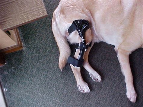 do dogs knees knee braces or supports images