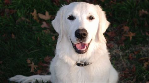 white golden retriever white golden retriever puppies for sale and rescue