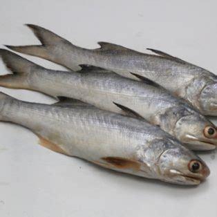 Peluang Usaha Budidaya Ikan Kembung peluang usaha budidaya ikan senangin dan analisa usahanya agrowindo